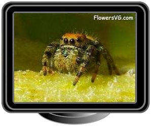 small red back jumping spider