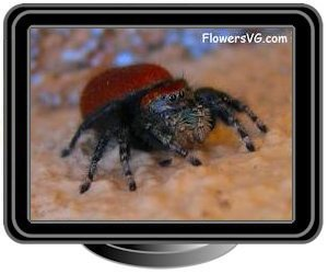 red back jumping spider