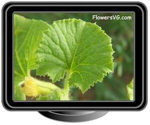 Cantaloupe Leaf Garden Plant Pictures View top rated cantaloupe leaves recipes with ratings and reviews. cantaloupe leaf garden plant pictures