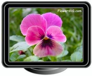 Black pink pansy flower pictures pansy pink black mightylinksfo
