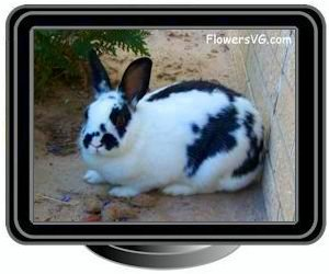 pet black whiterabbit