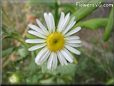 thin white daisy flower