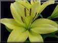 yellow lily flower picture
