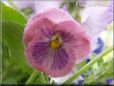 pink purple pansy flower