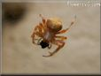 orange horned spider