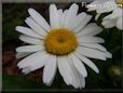 white shasta daisy flower