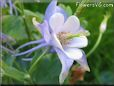 light blue columbine pictures