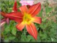 red yellow lily flower