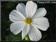 white cosmos flower picture