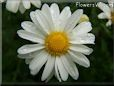 small white daisy flower picture