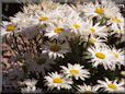 white shasta daisy flower picture