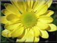 yellow daisy flowers picture