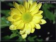yellow daisy flower pictures