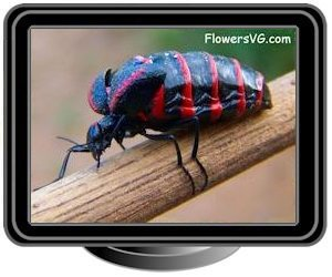 black red blister beetle