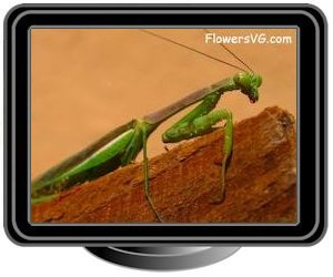 dark green prayingmantis insect