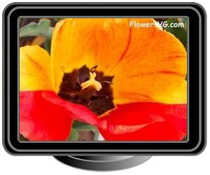 tulip bloomed yellow red black