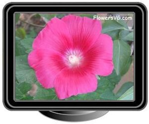 hollyhock light red