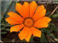 orange gazania flower picture