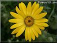 yellow african daisy flower