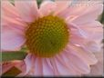 pink daisy flower picture
