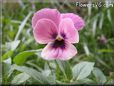 pink black pansy flower
