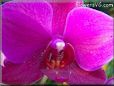 purple moth orchid pictures
