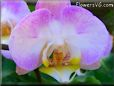 light purple moth orchid pictures
