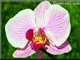 moth orchid pictures