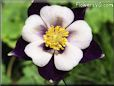 columbine flower picture