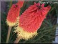 red yellow poker kniphofia flower