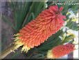 red yellow kniphofia flower