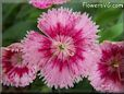 pink dianthus picture