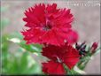 red dianthus picture