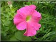 pink petunia flower picture