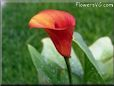 calalily flower picture