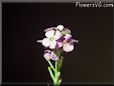erysimum flower picture