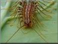 house centipede pictures
