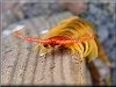 large centipede  pictures