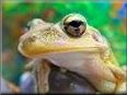 cuban tree frog pictures