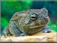 egyptian toad pictures